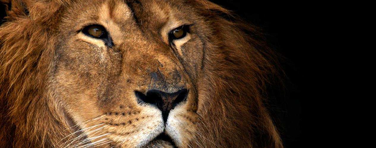 Lion 500